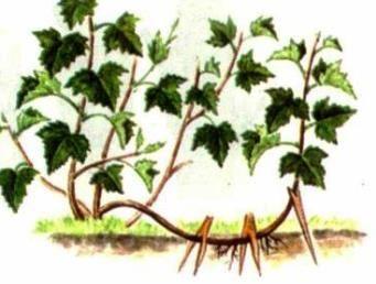 способи розмноження рослин