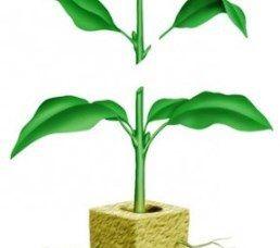 розмноження стебловими живцями