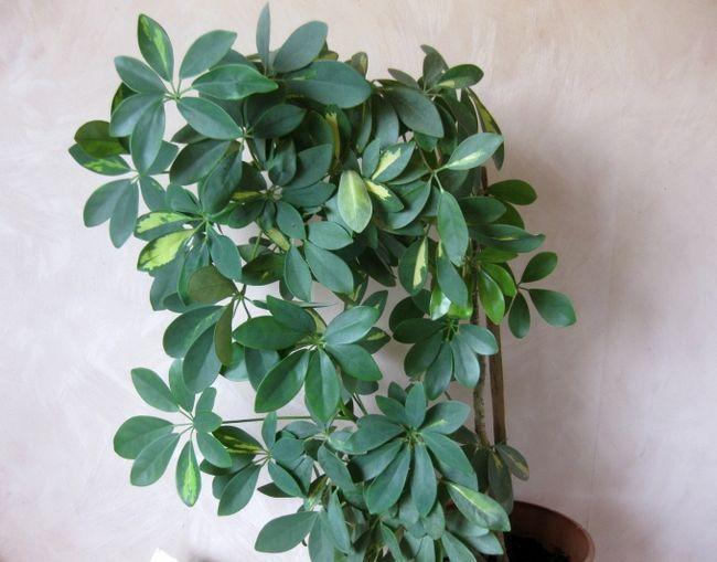 Розмноження шефлери - 3 способи черенковать зонтичное дерево, фото-інструкція в деталях