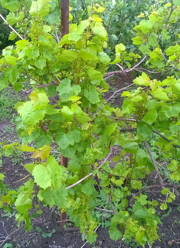 Виноград сорту Плевен комплексноустойчіий