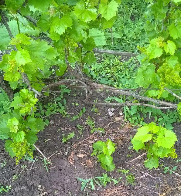 Отводок винограду в розвитку