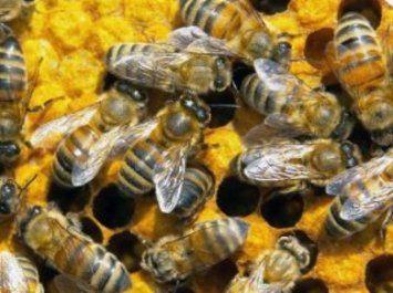 Бджолина сім`я - основа бджільництва, життя бджолиної сім`ї