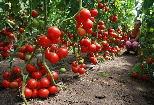 Рецепти підгодівлі з дріжджів для розсади томатів і перцю