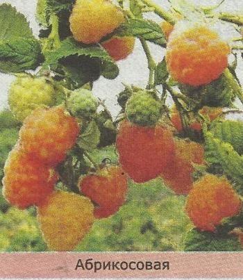 Ремонтантна малина: особливості агротехніки, посадка і догляд