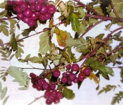 Горобина гранатні - полівітамінний рослина