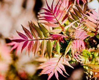 Рябинник - декоративна рослина, складова частина декоративного саду, посадка і догляд