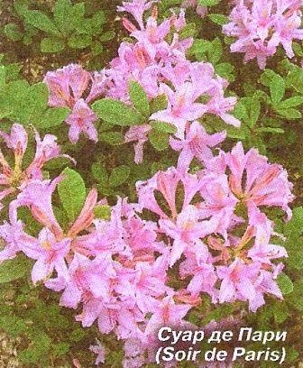 Рододендрони для початківців квітникарів