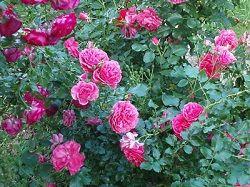 Роза кущова садові - правильний догляд і вирощування на дачі.