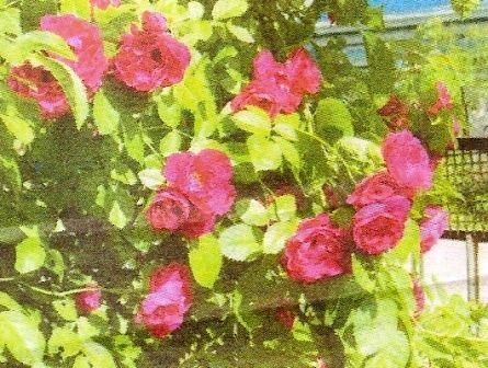 Роза плетистих фламментанц, її особливості, розмноження і агротехніка