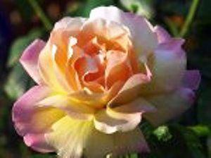 Роза сорту gloria dei, троянди в ландшафтному дизайні, походження і особливості сорту троянди глория деї