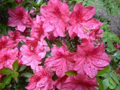 «Рожеве дерево» (азалія індійська): особливості цвітіння, догляд в домашніх умовах