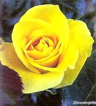 Троянди чайно-гібридні, історія культури, сорти чайно-гібридних троянд