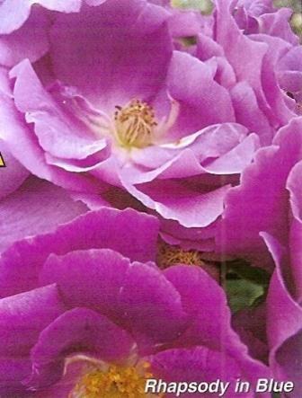 Троянди флорибунда, сорти, групи, агротехніка