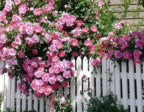 Троянди біля паркану фото