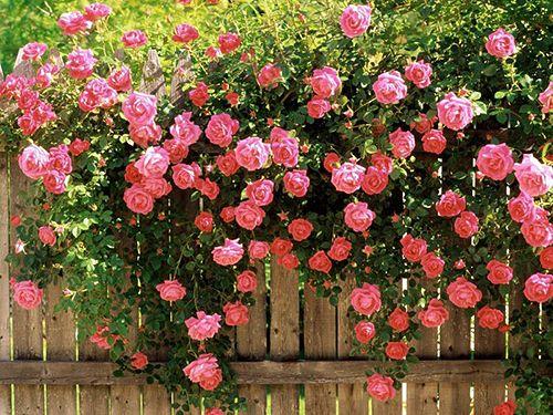 Троянди біля паркану