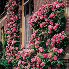 В`юнкі троянди в саду
