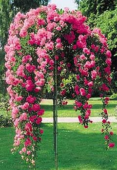 штамбові троянди