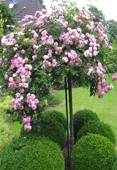 Штамбові троянди в саду