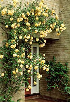 фото Троянди біля входу в будинок