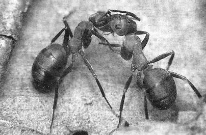 Садові мурашки: шкода і користь