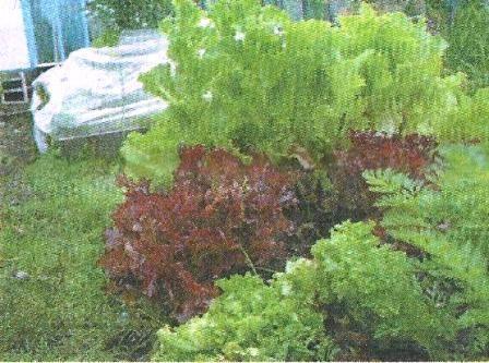 Салат латук, його дієтичні і лікувальні властивості