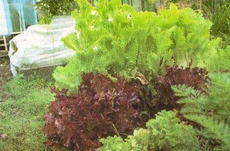 Салат листовий, особливості культури, її агротехніка