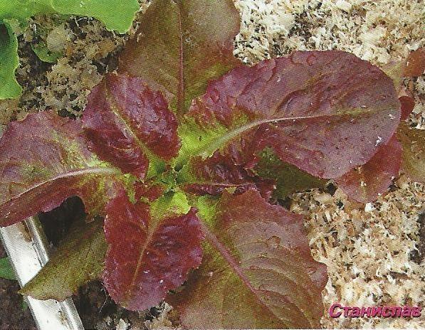 Салат римський, сорти, агротехніка, дієтичні якості