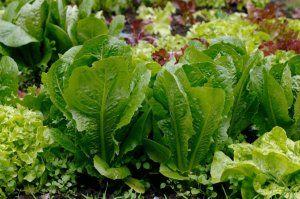 Особливості сортів салату