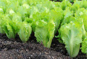 Яка грунт потрібна для вирощування салату в теплиці