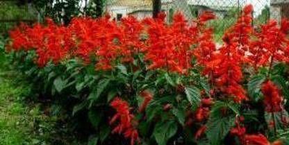 на дачі квіти сальвії