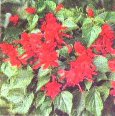 Найкращі квіти - шавлії, або сальвії