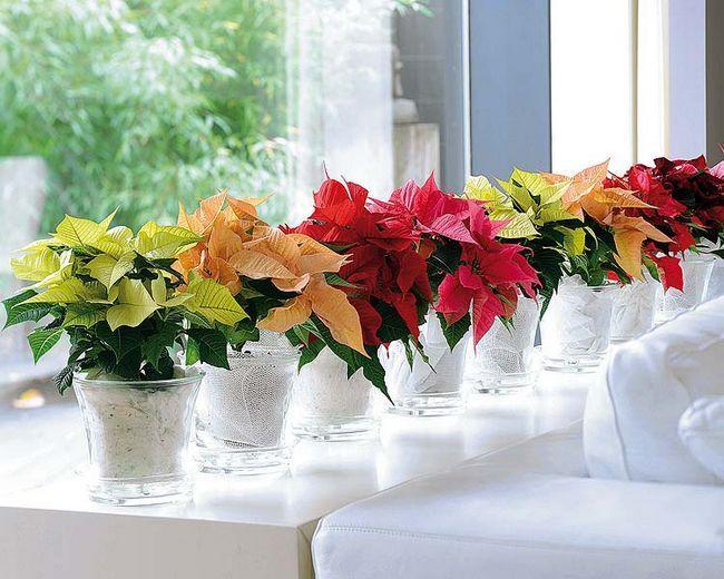 Сансевієрія: правильний догляд за рослиною в домашніх умовах