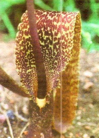 Сауроматум - екзотичний тропічний квітка, догляд за сауроматом