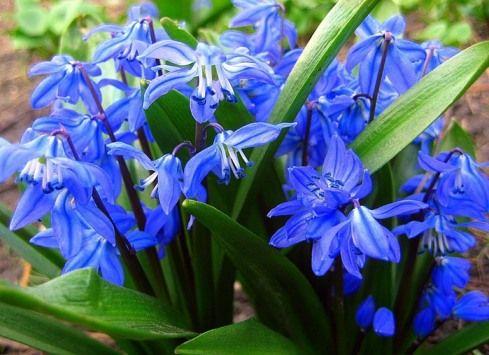 Сцилла, або проліски, квіти-бур`яни, в дизайні та оздобленні саду