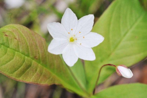 Седмічнік - красиву квітку, умови зростання