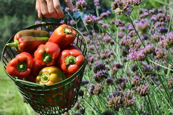 Секрети вирощування цілющих перців різних сортів