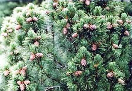 Селекція кедра сибірського як горіхоплідних породи: актуальність, стан і перспективи