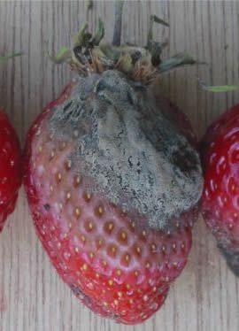 Фото рослин ураженого сірою гниллю
