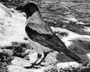 Сіра ворона, її користь і шкода
