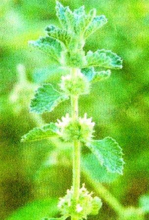 Шандра гребенчатая - пряна і лікувальна культура, розмноження і агротехніка, опис, фото