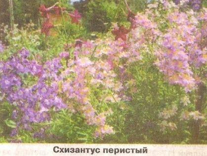 Схизантус, невибагливі квіти і догляд за ними