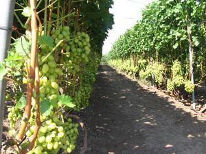 Опори для винограду