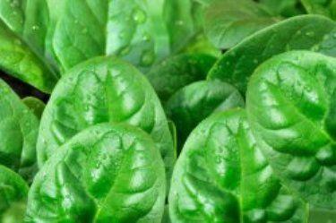 Шпинат - овочева культура, дієтичні властивості, агротехніка