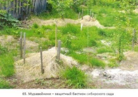 Сибірський сад, хвороби і шкідники в сибірському саду, сибірські морози