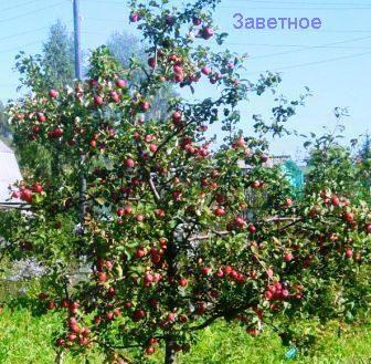Сибірський сад після екстремальних зим, відновлення садів і відродження надій