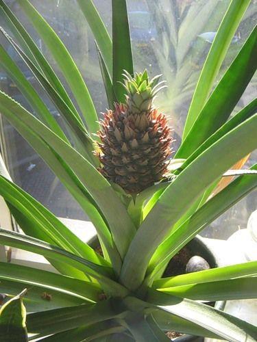 Скільки видів ананасів і як виростити ананас в домашніх умовах
