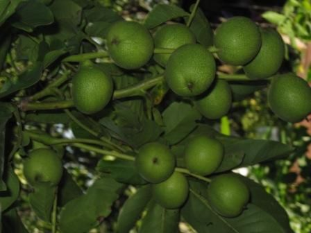 Скороплідний волоський горіх на півночі україни