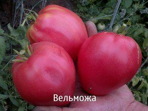 Кращий сорт сибірської селекції томат «вельможа», опис, характеристики, рекомендації