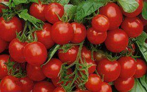 Солодке диво на вашому підвіконні - опис і характеристики сорту томату «журавлина в цукрі»