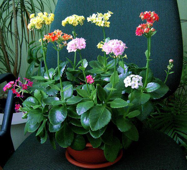 Догляд за квітами каланхое